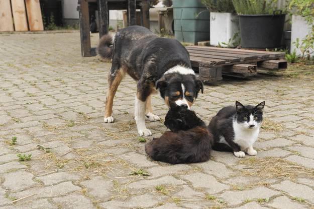 Auf dem Biohof von Florian Buchwalder verstehen sich auch die Hunde mit den Katzen.
