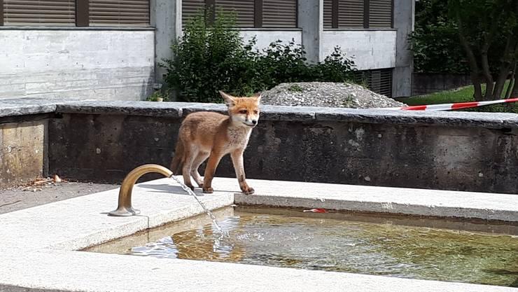 Der junge Fuchs steht auf dem Schulhausbrunnen.