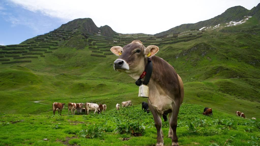 Kühe können ganz schön bedrohlich sein.