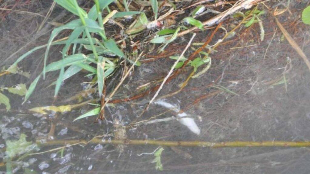 Bauchoben schwimmt ein toter Fisch im Schluchtbach in Derendingen.