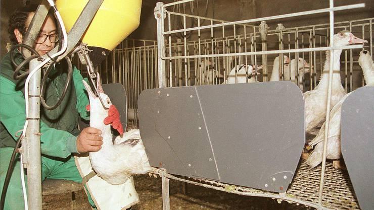 Die Stopfleber sorgt seit Jahren in der Schweiz für Kontroversen. Im Bild: Eine Gänsefarm in Spanien.