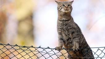 Das Revier der österreichischen Katzen hört nicht beim Maschendrahtzaun auf (Symbolbild)