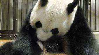 Die Panda-Mutter Shin Shin kurz nach der Geburt (Archiv)