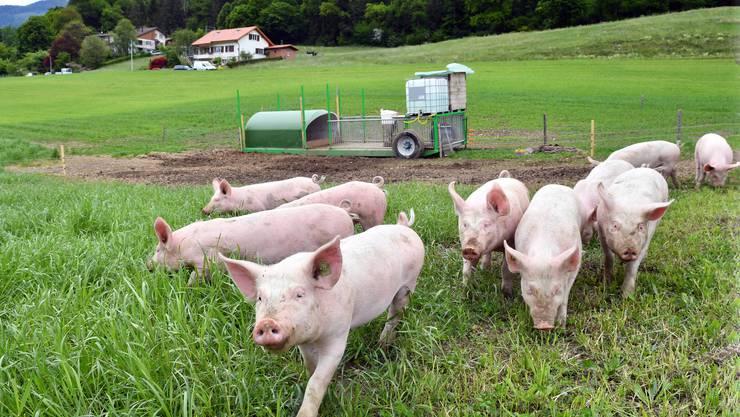 André Flücks zehn Freilandschweine können auf der Wiese so richtig «die Sau rauslassen».
