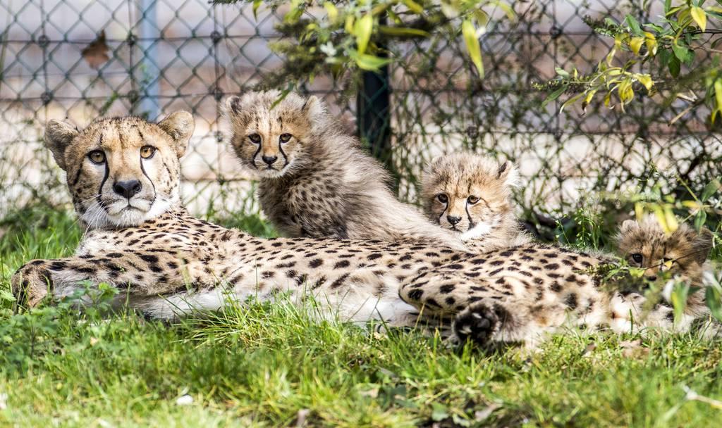 So süss! Die Geparden-Babys im Basler Zolli