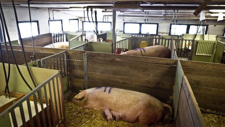 Blick in den Stall von Peter Hochuli, wo 16 Schweine gebären