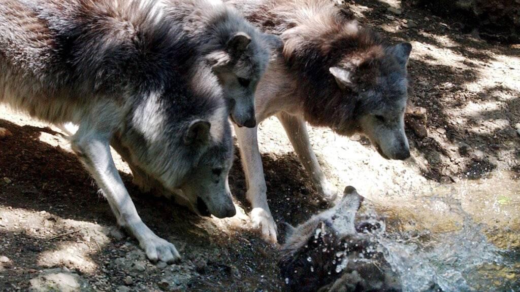 Glarner Regierung: Wölfe keine existenzielle Gefahr für Älpler