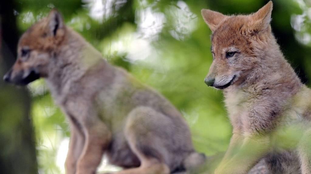 Zweites Wolfsrudel im Kanton Waadt nachgewiesen