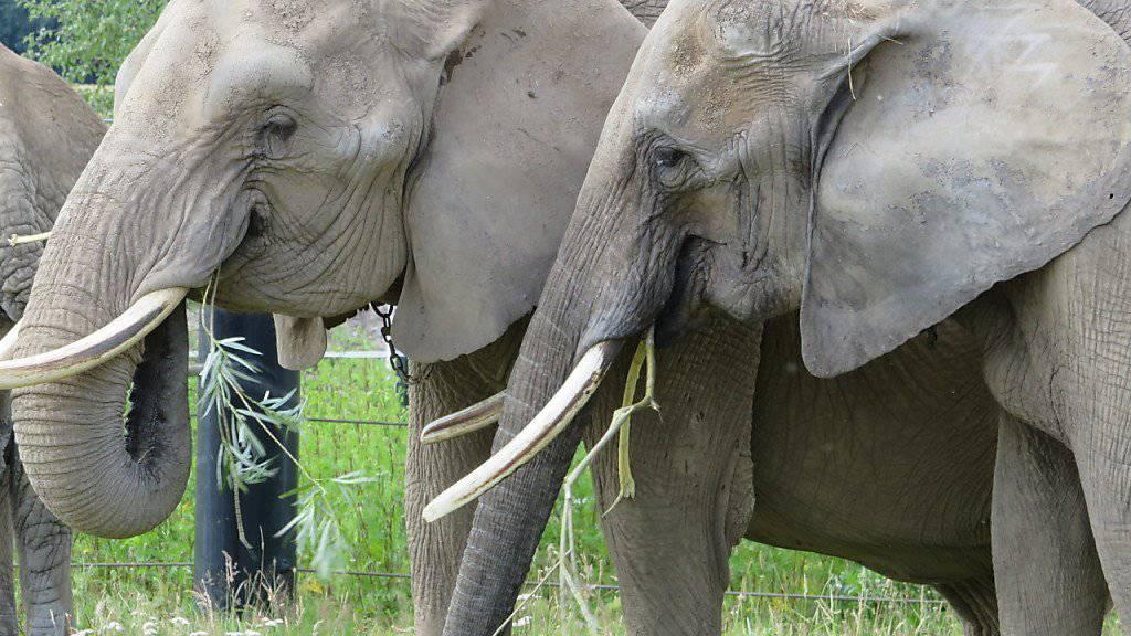 Mal dicker mal dünner: Zürcher Forscher sind einem «Jojo-Effekt» bei Zoo-Elefanten auf die Schliche gekommen.