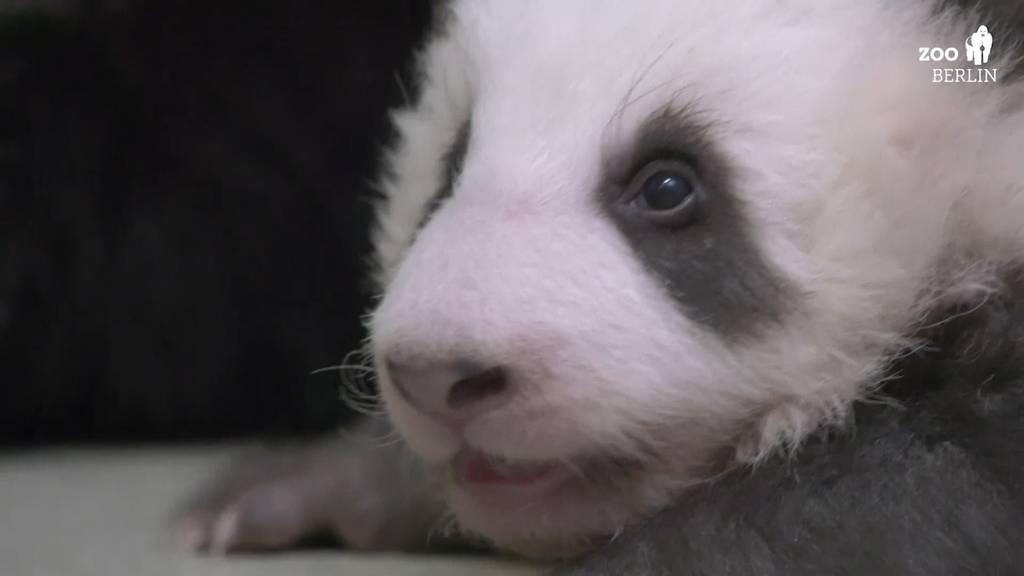 Herzig: Die Gehversuche der Baby-Panda-Zwillinge