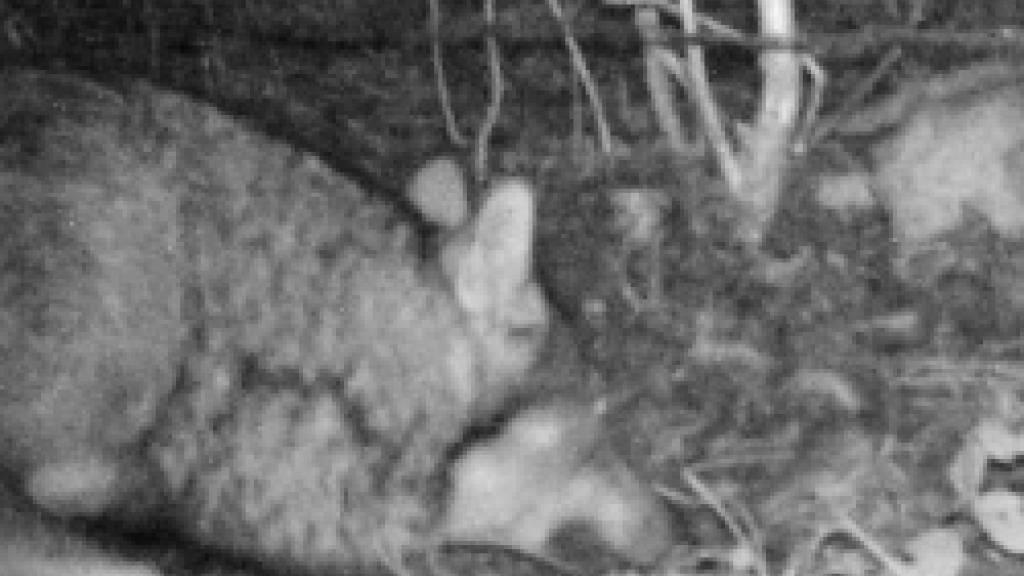Hier tappt der Wolf auf einem nächtlichen Streifzug in die Fotofalle.