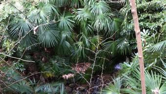 Grosser Bestand der Hanfpalme in einem Wald bei Locarno. Die exotische Baumart wurde nun auch in Basler Wäldern nachgewiesen.