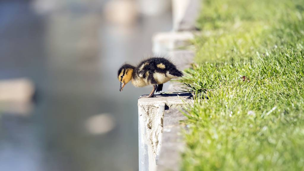 Zwischen Haag und Buchs wurde eine Enten-Familie gerettet. Ein Küken fehlt aber noch.