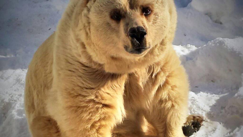 Die Bärin Leila kam 1993 aus dem Berner Tierpark nach La Chaux-de-Fonds (NE).