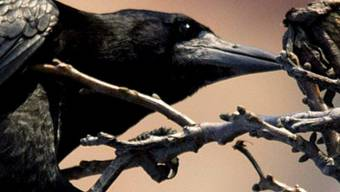 Eine Krähe (Symbolbild)