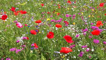 Noch sind Blühwiesen in Subingen eine Seltenheit.