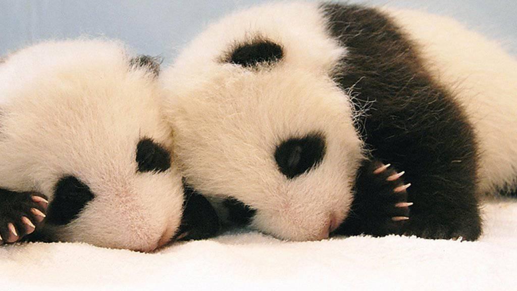 Panda-Nachwuchs kommt in Gefangenschaft nur sehr selten vor. Umso mehr freut sich das Forschungszentrum im chinesischen Chengdu über die neugeborenen Panda-Zwillinge. (Symbolbild)