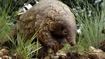 ARCHIV - Ein Schuppentier (Manidae) sucht nach Futter. Foto: Themba Hadebe/AP/dpa