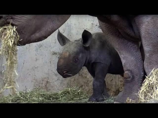 Zoo Zürich Jungtier: Ostafrikanisches Spitzmaulnashorn Olmoti