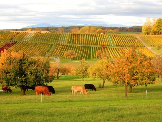 Bunter Herbst -Weinberg, Kirschbäume und Kühe.