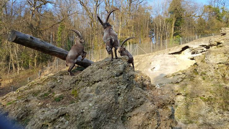 Ein Steinbock-Kampf besteht nicht nur aus dem Hörner-Aneinanderstossen – die Tiere machen zahlreiche Gebärden und fixieren ihr Gegenüber mit den Augen.