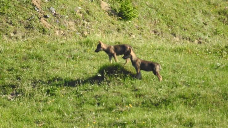 Zwei der drei Jungwölfe, die auf Gemeindegebiet von Ilanz beobachtet wurden.