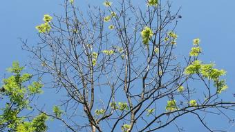 Kranke Esche: Das Zweigsterben ist ein markantes Zeichen dafür, dass die Esche von der Pilzkrankheit befallen ist