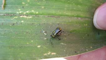 Im Kanton St. Gallen ist in drei Fallen der Maiswurzelbohrer entdeckt worden, ein Käfer aus Nordamerika, der grosse Schäden anrichten kann.