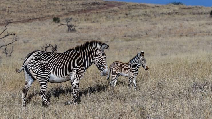 Es gibt unzählige Theorien über die Funktion der Streifen von Zebras – und alle haben sich als falsch herausgestellt.