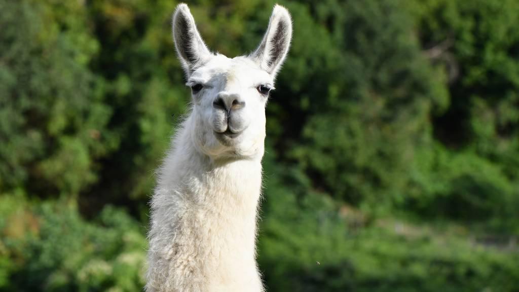 Jetzt kannst du ein Lama in deinen Videochat einladen