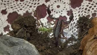 Familie Herzig findet Skorpion – jetzt wohnt er im Museum