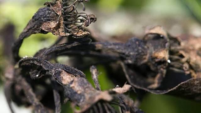 Die Obstbäume im Kanton Aargau sind dieses Jahr nicht so stark vom Feuerbrand betroffen.