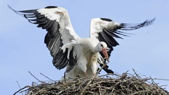 Der Storch ist wieder zurück