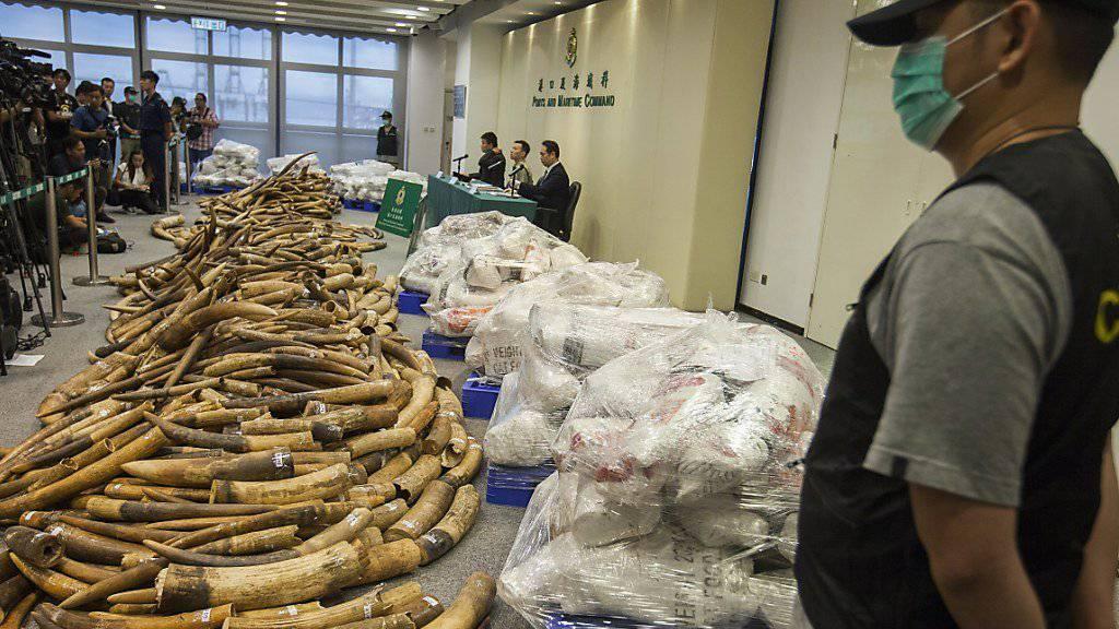 Der Zoll in Hongkong präsentiert den grössten Elfenbein-Fund in den vergangenen 30 Jahren.