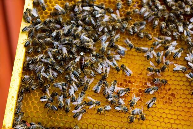 Die Bienenkönigin mit ihrem Volk.