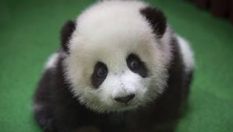 Das Panda-Baby im Nationalzoo von Malaysia präsentiert sich zum ersten Mal der Öffentlichkeit.