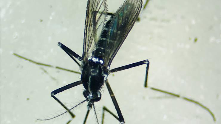 Am gestreiften Rücken und den ähnlich gemusterten Beinen ist die Tigermücke zu erkennen.