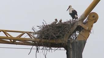 Die Zweisamkeit für das Storchenpaar von Kaiseraugst ist vorbei. Sie teilen nun das Nest auf dem Kran mit zwei putzmunteren Jungen. Die Dorfbewohner freuts.