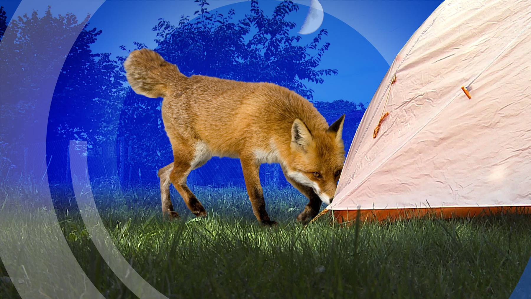 Fuchs auf Abwegen