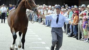 Ein Pferd wird vorgeführt