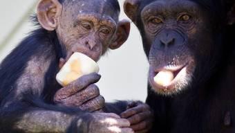 Die Schimpansen Elisha, rechts, und ihr Junges Malik im Walter Zoo in Gossau