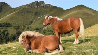 Seit Jahren lebt im Grenzgebiet zwischen dem Tessin und Italien eine Herde wilder Pferde. Eigentlich handelt es sich um die ihrem Schicksal überlassene Herde eines verstorbenen Bauern - Tierschützer setzten sich dafür ein, dass die Pferde im Sommer frei leben können. Zwischen den Bergen Monte Bisbino und Monte Generoso legen die Pferde - hauptsächlich Haflinger - derzeit ihr Fettpolster für den Winter an, den sie in einem Winterquartier in Italien verbringen.