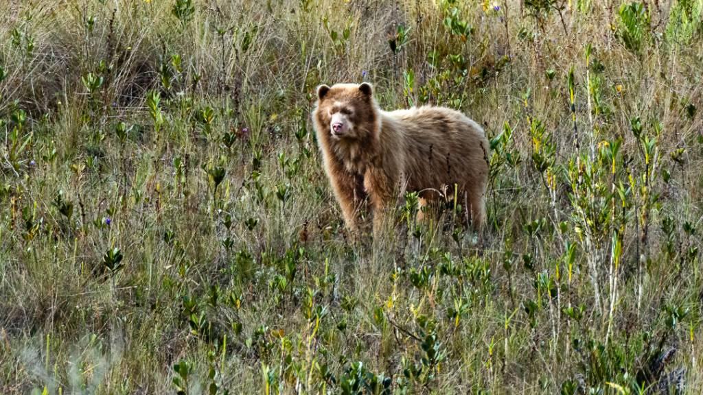 In einem bislang unerforschten Gebiet in den Anden entdeckten Forschende den ersten Brillenbären mit goldenem Fell, der somit dem Bär «Paddington» ähnelt. (Pressebild)