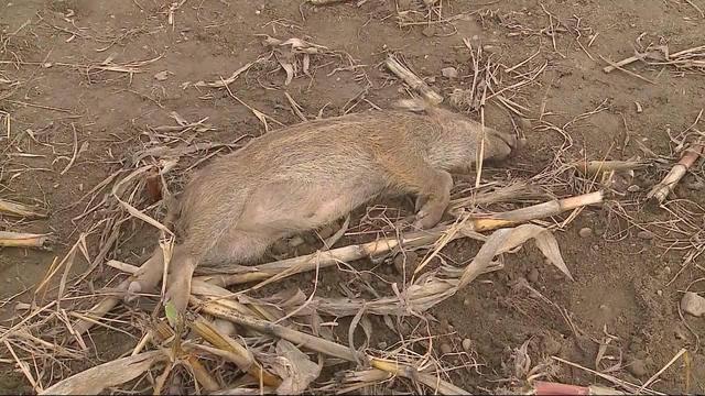 Wildschwein-Mörder