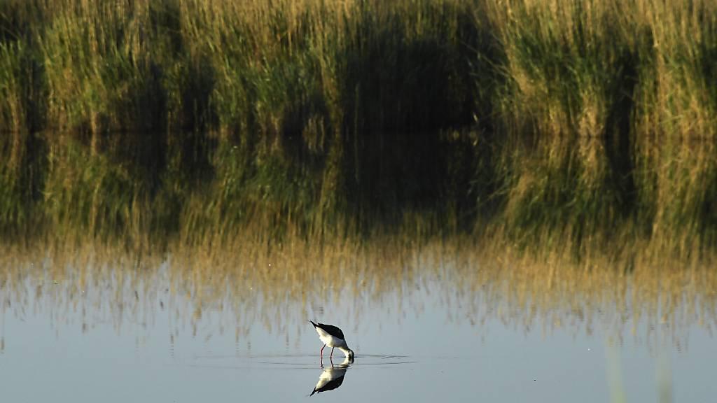 Studie: Vogelarten sterben viel schneller aus als gedacht