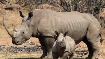 Ein Nashorn mit seinem Jungen in Südafrika (Archiv)