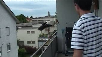 Ein Storch als Haustier? In Bettlach Tatsache