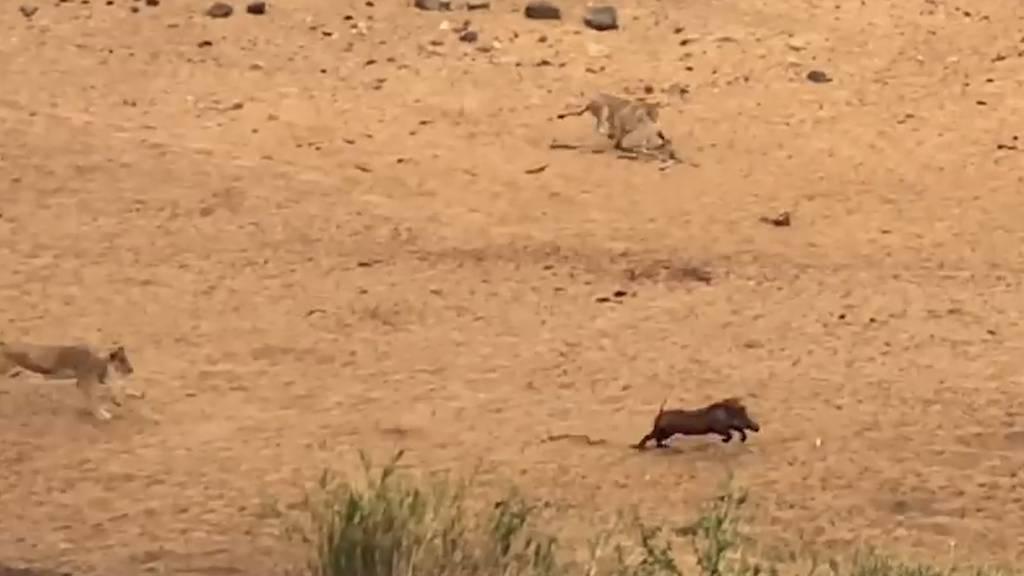 Wilde Verfolgungsjagd: «Speedy»-Warzenschwein hängt sieben Löwinnen ab