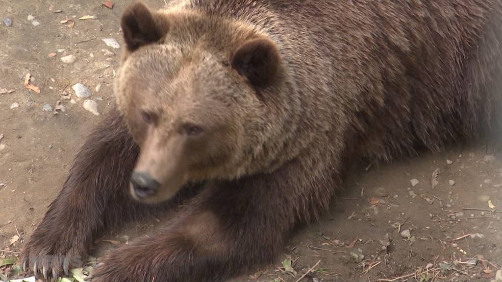 Bärenpark: «Wir wollen wieder Jungbären in Bern»