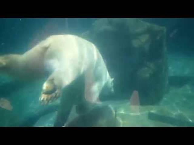 Entzückt die Besucher: Der Eisbär von Mulhouse.